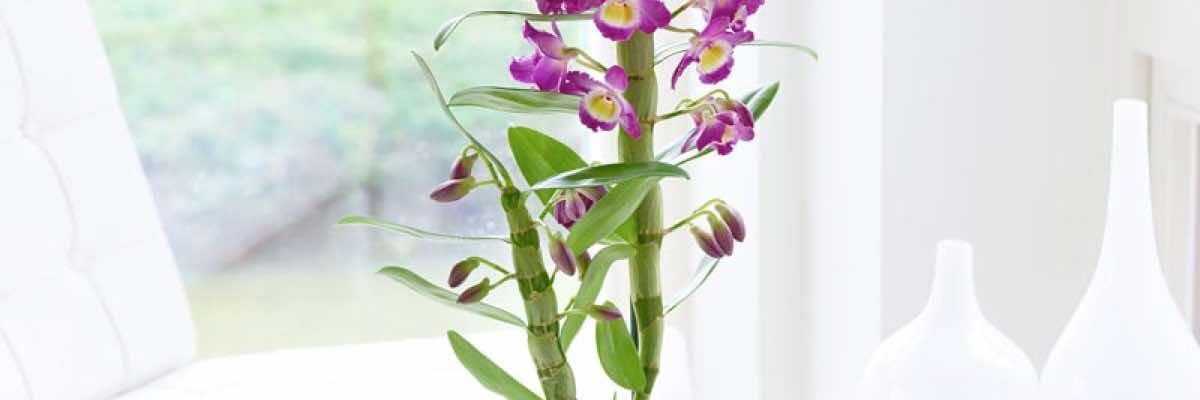 Orkide Efsanesi